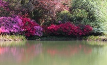 azaleas reflecting in the water