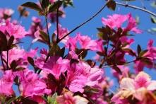 azalea close up